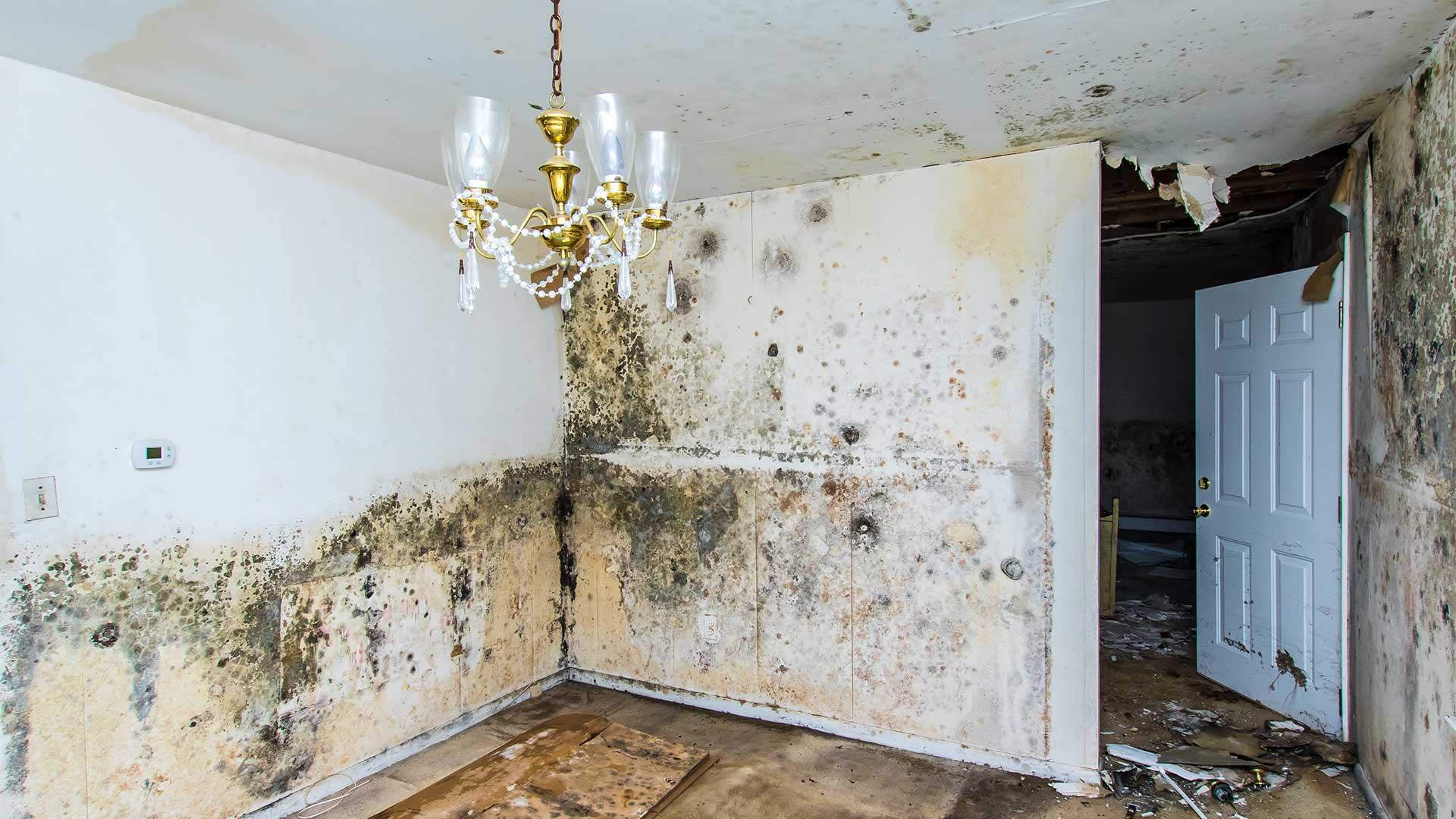 Major mold damage to a home in Brandon, FL.