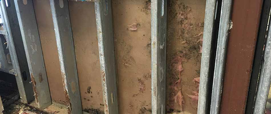 Mold from water damage inside home walls in Plant City, FL.